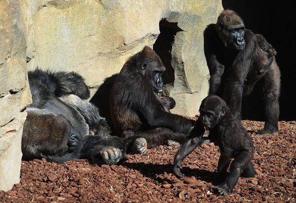 Familia de gorilas en BIOPARC Valencia primavera 2018