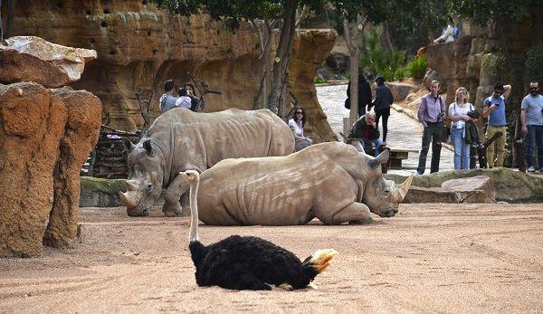 Primavera  visitantes en la Sabana africana de BIOPARC Valencia observando a los rinocerontes y las avestruces min