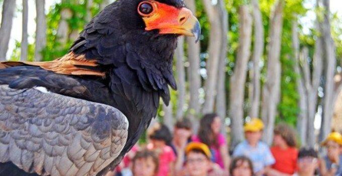 Águila volatinera expedición áfrica verano BIOPARC VALENCIA