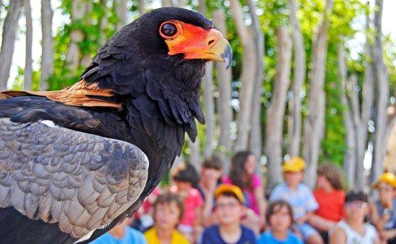Águila volatinera - expedición áfrica - verano  - BIOPARC VALENCIA