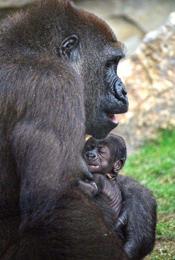El bebé gorila nacido en BIOPARC cumple 15 días - 1 septiembre 2016