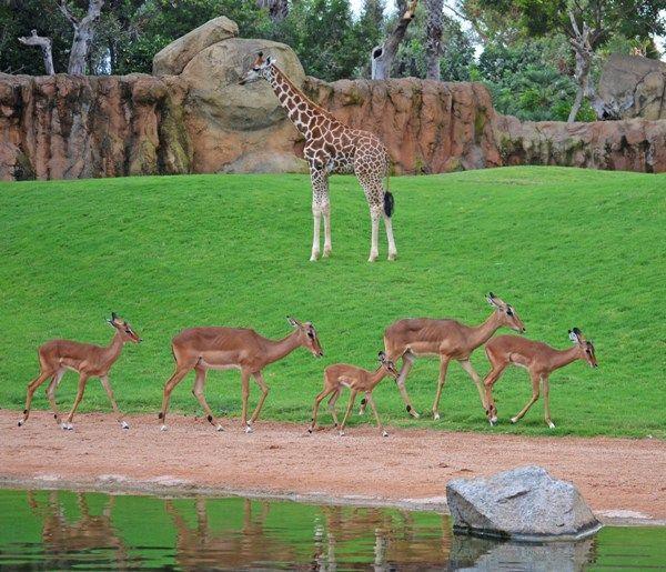 Manada de impalas recorriendo la Sabana agosto  BIOPARC Valencia