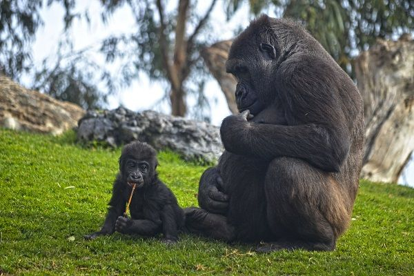 BIOPARC Valencia La gorila Nalani y su bebé Virunga