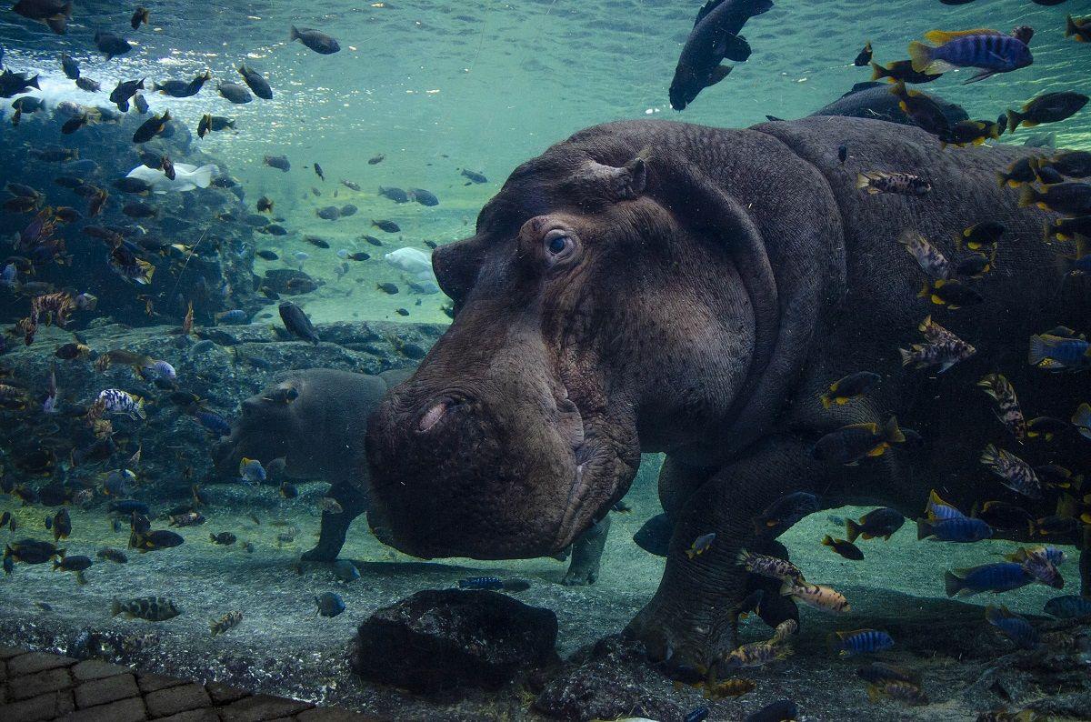 BIOPARC Valencia El macho de hipopotamo Raff